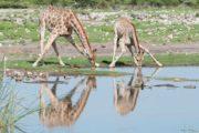 Giraffe08