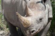 Rinoceronti07